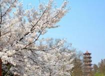 2018武汉大学樱花节预约时间地址 仅13-20天左右